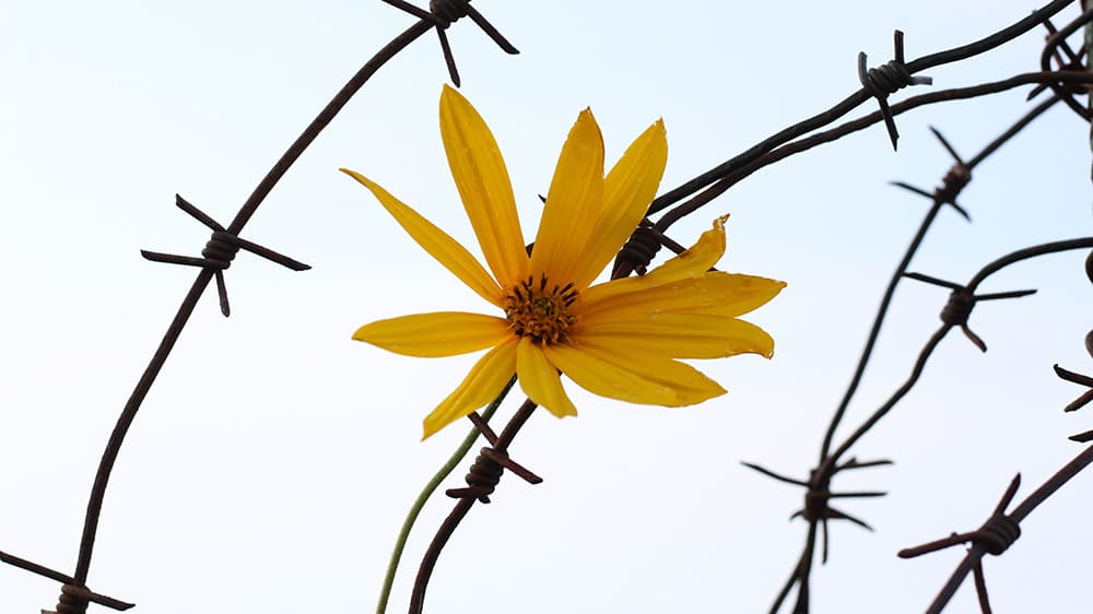 a bright yellow daisy surrounded by barbed wire against a faint blue sky