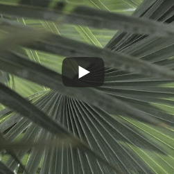 a bakcground of green palm leaves with a video play button overlaid